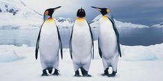 Самые загадочные животные планеты: пингвины – мифы и факты