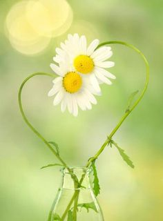 Daisy Love Photo Greeting Card Romantic by AnInspiredLens on Etsy Fine Art Photo, Photo Art, My Flower, Flower Power, Heart In Nature, Daisy Love, Daisy Daisy, Love Photos, Flowers Nature