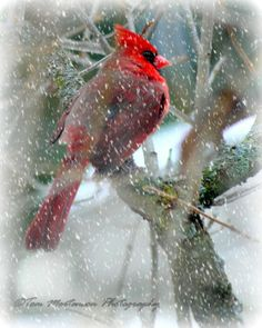 Annual Visitor Outside My Window by Tom Mortenson on Capture Wisconsin // A vibrant red male cardinal waits for his mate just above the bird feeder on a snowy day. The same pair returns every year and they are a delight to watch.