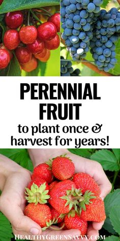 Plant perennial fruit once and enjoy loads of luscious berries, plums, apples, and more for years to come! Learn about the huge variety of perennial fruit plants to choose from and how to incorporate them into your existing landscape. #perennialfruit #growfruit #growyourown #permaculture #ediblelandscaping Gardening For Beginners, Gardening Tips, Green Living Tips, Low Maintenance Landscaping, Fruit Plants, Hardy Plants, Grow Your Own, Sustainable Living, Natural Living