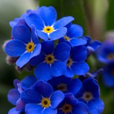 forget-me-not, for my favorite uncle, His State flower.
