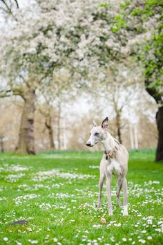 Whippet in the park. Green Park Hound / / Kerry Jordan Whippet in the park. Beautiful Dogs, Animals Beautiful, Beautiful Ladies, I Love Dogs, Cute Dogs, Whippet Dog, Crazy Dog Lady, Grey Hound Dog, Whippets