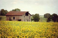 Sunflowers & Barn 8x10 Fine Art Photography Farm Country Shabby Chic Yellow Green Rustic Vintage Home Decor Wall Art Farmhouse on Etsy, 21,25€