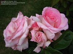 Taken at the International Rose Garden in Portland, OR.