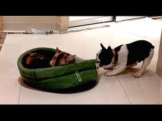 Puppy Adorably Reclaims His Bed From Cat - http://clickfodder.com/puppy-adorably-reclaims-his-bed-from-cat/
