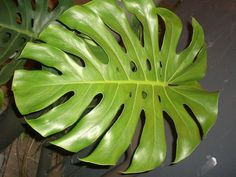 Monstera deliciosa - Hortipedia