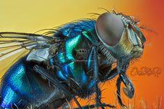 Lucilia caesar blue blow-fly costa rica