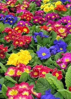 Springtime  reminds me of all of the  primroses at Windsor Castle