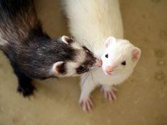 So cute #ferrets #animals