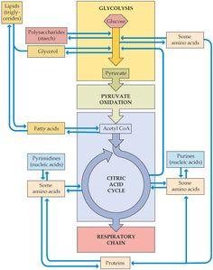 Relationships between Metabolic Pathways