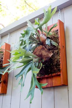 Mounting staghorn ferns Platycerium, red  box frame, nails, moss, fishing line crisscrossed, carefully hung with chainlink under indirect sunlight