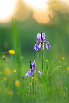 Iris Flowers, Blue Flowers, Wild Flowers, Flora Garden, Cottage Garden Plants, Spring Blooms, My Secret Garden, Flower Photos, Garden Paths
