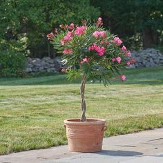 The lance-shaped leaves, beautiful braided stem, and hot pink flower clusters of this tropical favorite make it a standout on patios and in gardens. Backyard Plants, Outdoor Plants, House Plants, Garden Plants, Potted Trees, Trees To Plant, Potted Plants, Hedges, Oleander Plants
