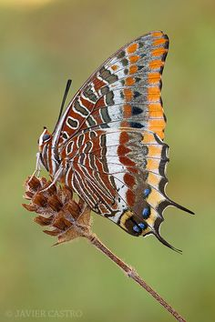 Two Tailed Pasha the only double tailed butterfly in Europe.