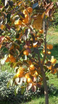 Datolyaszilva - a szervezet számára szükséges anyagok kimeríthetetlen tárháza. Csodálatosan egyesíti - , kálium-, magnézium- , kalcium -, vas- , jód , A-vitamin (béta -karotin ), C , PPvitaminokat. Mik az előnyei? Datolyaszilva feltölti a szervezetet kálium sókkal , melyek… Fruit Trees, Permaculture, Pumpkin, Outdoor, Garden, Figs, Vegetables, Plant, Outdoors