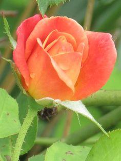 rain drops on my  rose