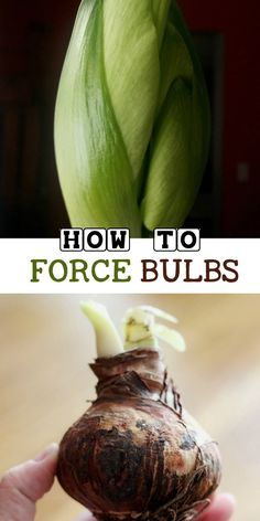 AD You can do it! Some bulbs are really easy to force into bloom because unlike tulips they do not require pre-chilling. Come see the options for having beautiful indoor flowers in your home this winter.