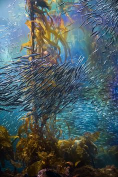 Fish swarm through the kelp forest by Oliver Dodd