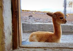 Another cute baby llama! Can't get enough of the cuteness!