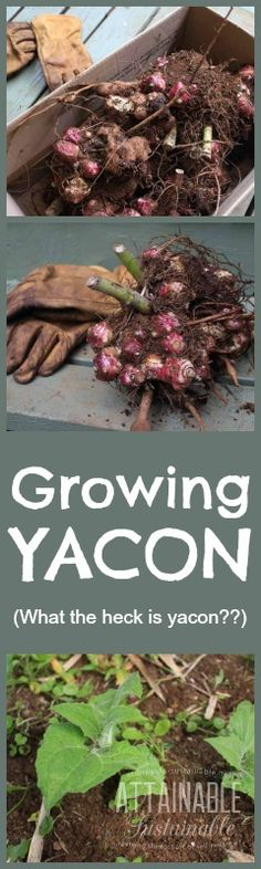 "Yacon's edible tubers are sweet and crunchy, giving it the nickname ""ground apple."""