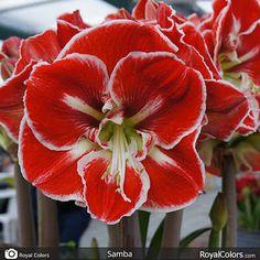 Happy #hippeastrum #Tuesday! red/white #Samba #Amaryllis  for today! :-)   #Amaryllis   #Hippeastrum   #амариллис   #アマリリス   #孤挺花   #amarilis   royalcolors.com   #flowers #royalcolors #Floral #Flower #Bloom #Beautiful #Amazing #bulbs #keukenhof #Netherlands