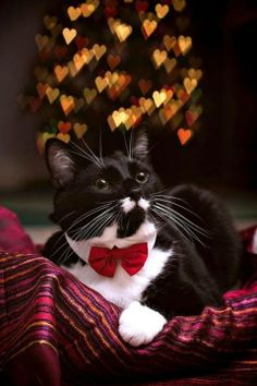 Cats in bow ties are cool! Have to find or make a red bow tie for my two tuxie kitties !!!