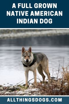 A full grown Native American Indian Dog is incredibly wolf-like in its appearance. Altough they are big strong dogs, they move ever so silently and gracefully through the wilderness. Read on for more details on their appearance. American Indian Dog, Native American Indians, Large Dog Breeds, Large Dogs, German Shepherd Wolf Mix, Northern Inuit Dog, Giant Dogs, The Perfect Dog, Wolf Dogs