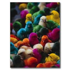 Chicks Colored for Indian Holiday Postcard