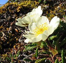 Mountain Avens, the provicial flower of the Northwest Territories