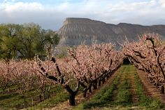 Peach orchards - Bing Images - Palisade, CO