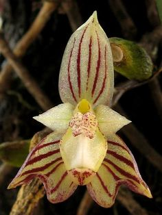 Bulbophyllum ambrosia. Bulbophyllum is the largest genus in the orchid family. With more than 2,000 species, it is also one of the largest genera of flowering plants. It's found throughout most of the warmer parts of the world.