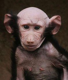 "Bald Monkey, cute! ""Hamadryas Baboon"""