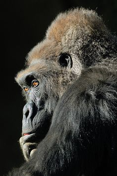 Magnificent gorilla.