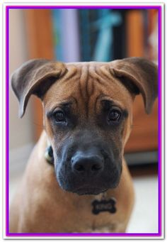 pitbull boxer mix puppies for sale Cute Puppies Pups