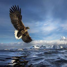 White-tailed eagle. Foto: Audun Rikardsen