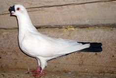 Chinese Nasal Tufted  Pigeon