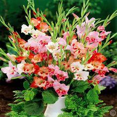 Gladioli nanus mix - 10 flower bulbs buy online order now