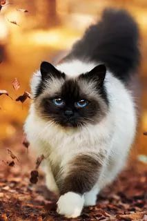 Having a name such as the Bobtail, it is clear that this cat's Origin and a single uniquely defining trait. The American Bobtail is a powerful, muscular cat, that also appears to be very rare.
