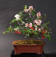 Dwarf-Japanese-Quince-Chaenomeles-japonica-20-Bonsai-Seeds-Fruit-shrub-tough