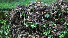 Snake Island, BrazilIlha da Queimada Grande (a.a Snake Island) is a tiny island off the coast of Brazil. Snake Island is home to the venomous golden lance Serpent Venimeux, Poisonous Snakes, Snake Venom, Rare Birds, Secret Places, Best Cities, Places Around The World, Fun Facts, Scary