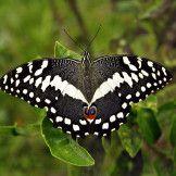 Artist: Engela Vermeulen   metal posters - Displate #Butterfly #Nature #Displate #Black #White #Green #Dots