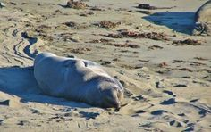 Leones marinos en la playa de Piedras Blancas en California
