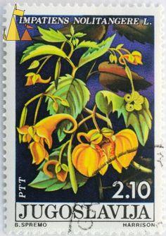 Image from http://stamps.livingat.org/images/Touch-me-not_Balsam_Jugoslavija_Yugoslavia_stamp_plant_flower_B_Spremo_Harrison_PTT_2_10_Impatiens_nolitangere_noli-tangere.610.0xdb55b0c7946fe85.DSC_6023.jpg.aspx.