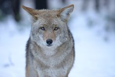 A large coyote stares in YOSEMITE