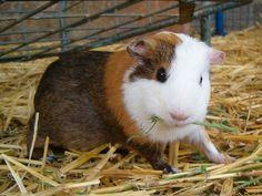 9 Steps How long do Guinea Pigs Live a Long Life