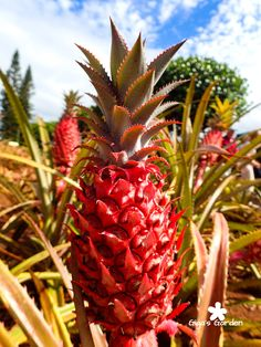 Pink pineapple growing at the Dole Pineapple Plantation on Oahu, Hawaii.