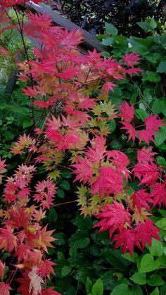 Acer Shirasawanum - 'Autumn Moon'  Japanese Maple