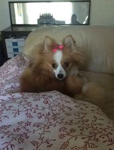 Meet Princess Fiona, roommate's sweetest Pomeranian dog 2