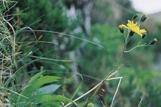 snowdonia-hawkweed, thought to be extinct but in 2002 it was rediscovered growing on a mountain slope in Wales wow!!
