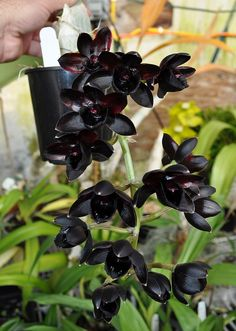Dark Flowers, Exotic Flowers, Beautiful Flowers, Orchid Plants, Cactus Plants, Garden Plants, Plant Aesthetic, Flower Aesthetic, Unusual Plants